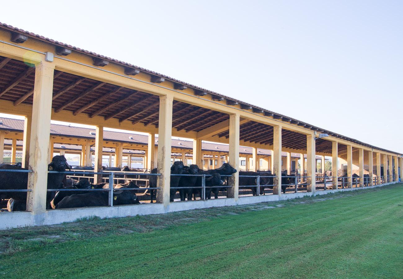 allevamento di bufale del caseificio il Granato a Capaccio-Paestum